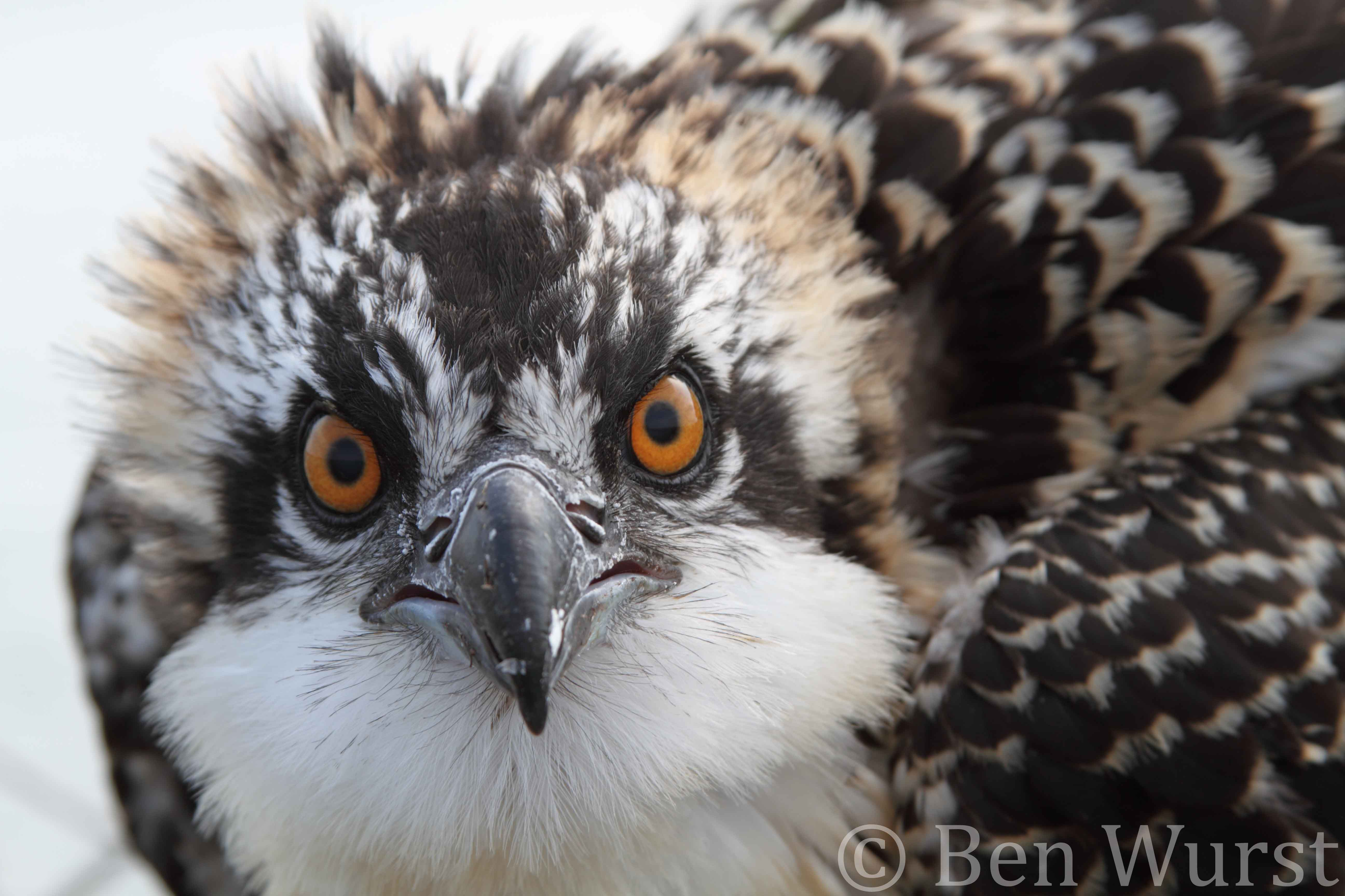A juvenile osprey stares me down as I prepare to place a leg band on it for future tracking.