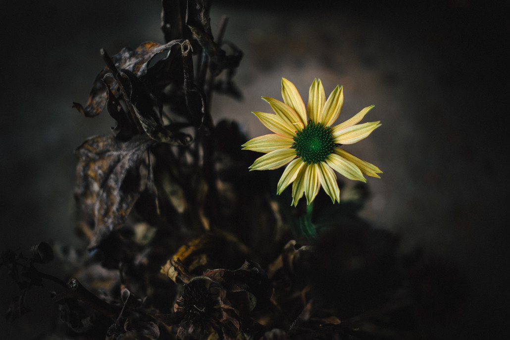 he striking beauty of a lone blossom on a dead coneflower plant in a dark garage. The true perseverance of nature to survive.